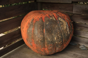 かぼちゃの写真素材 [FYI01700434]