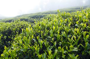 熊野古道沿いに栽培された音無茶の茶畑の写真素材 [FYI01700483]