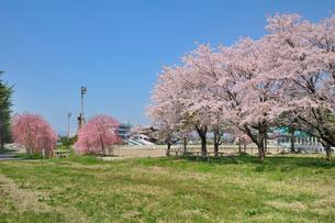 水沢競馬場の桜の写真素材 [FYI01700500]