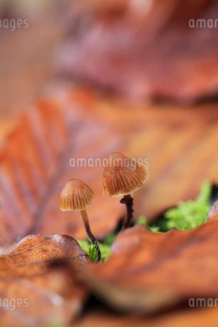 キノコと落ち葉の写真素材 [FYI01700524]