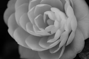 椿の写真素材 [FYI01700583]
