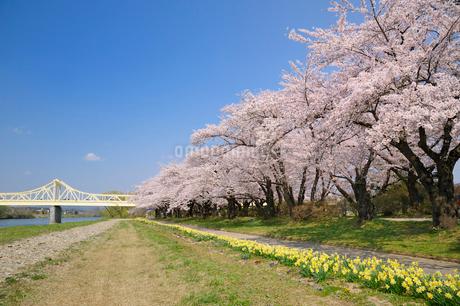 北上川と北上展勝地の写真素材 [FYI01700601]
