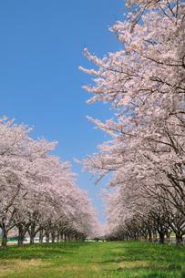 水沢競馬場の桜の写真素材 [FYI01700688]
