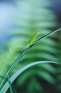セスジツユムシ メスの写真素材 [FYI01700702]