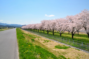 水沢競馬場の桜の写真素材 [FYI01700740]