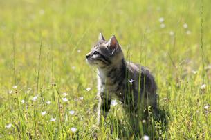 草原で遊ぶ子猫の写真素材 [FYI01700984]