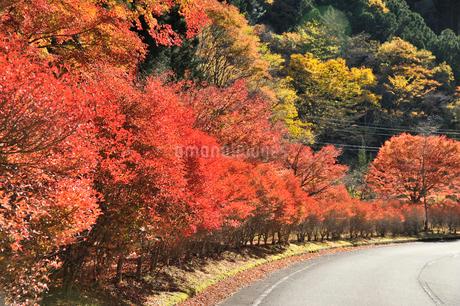 寸又峡の紅葉の写真素材 [FYI01701186]