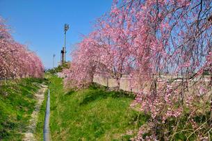 水沢競馬場の桜の写真素材 [FYI01701507]