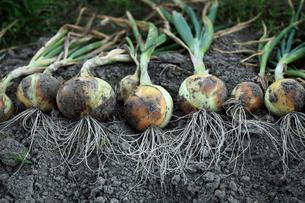 収穫されたタマネギの写真素材 [FYI01701662]