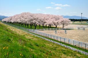 水沢競馬場の桜の写真素材 [FYI01701832]