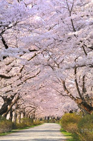 桜咲く北上展勝地の写真素材 [FYI01701844]