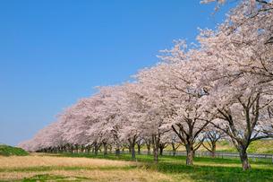 水沢競馬場の桜の写真素材 [FYI01702163]