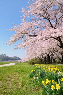 桜咲く北上展勝地の写真素材 [FYI01702673]