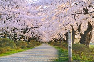 桜咲く北上展勝地の写真素材 [FYI01702726]