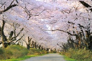 桜咲く北上展勝地の写真素材 [FYI01702729]