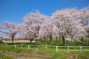 水沢競馬場の桜の写真素材 [FYI01702876]