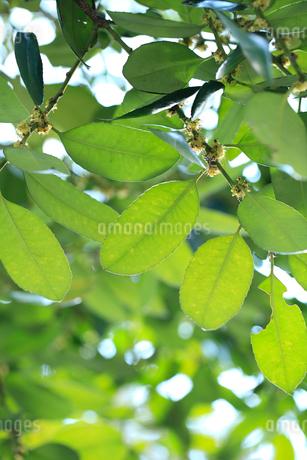 タラヨウの葉の写真素材 [FYI01702976]