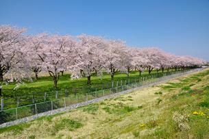 水沢競馬場の桜の写真素材 [FYI01703231]