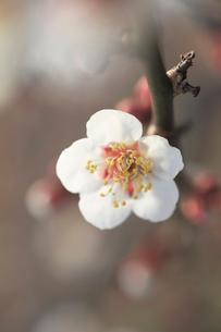 梅の花の写真素材 [FYI01703325]