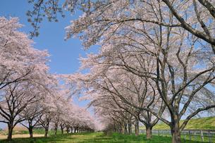 水沢競馬場の桜の写真素材 [FYI01703350]