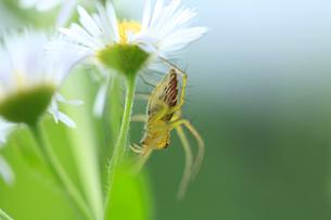 花に止まるクモの写真素材 [FYI01703361]