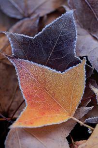 霜の着いた落ち葉の写真素材 [FYI01703363]