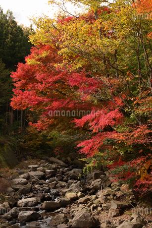 面合渓谷(紅葉)の写真素材 [FYI01703434]
