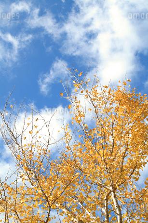 イチョウの葉と青空の写真素材 [FYI01703537]