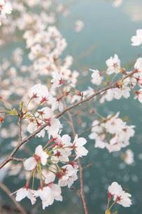 桜の写真素材 [FYI01703559]