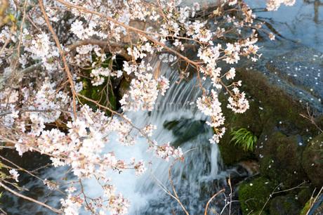 桜の写真素材 [FYI01703566]