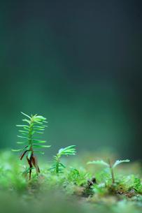 若芽の写真素材 [FYI01703611]