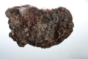 岩牡蠣の写真素材 [FYI01703612]