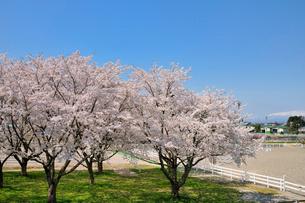 水沢競馬場の桜の写真素材 [FYI01703619]