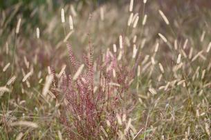 エノコログサが生える草原の写真素材 [FYI01703644]