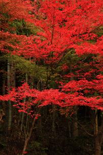 面合渓谷(紅葉)の写真素材 [FYI01703667]