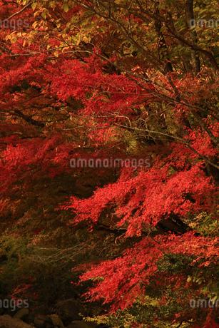 面合渓谷(紅葉)の写真素材 [FYI01703678]