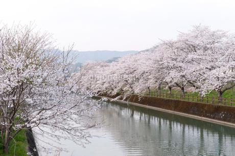 桜の写真素材 [FYI01703698]
