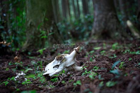 鹿の頭骨の写真素材 [FYI01703856]