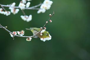 梅花とメジロの写真素材 [FYI01703876]