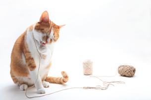 毛糸で遊ぶネコの写真素材 [FYI01703921]