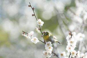 梅の花の蜜を求めて訪れたメジロの写真素材 [FYI01703947]