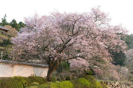 桜の写真素材 [FYI01703953]