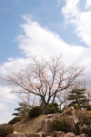 桜の写真素材 [FYI01704045]