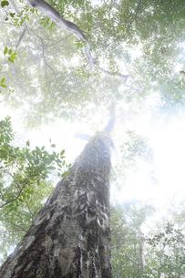 霧に包まれたカシの木の写真素材 [FYI01704091]