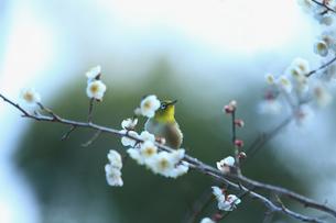 梅の花の蜜を求めて訪れたメジロの写真素材 [FYI01704435]