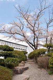 桜の写真素材 [FYI01704451]