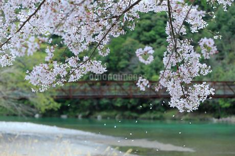 そよ風に散る桜の花びらの写真素材 [FYI01704516]
