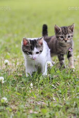 芝生で仲良く遊ぶ子猫の写真素材 [FYI01704571]