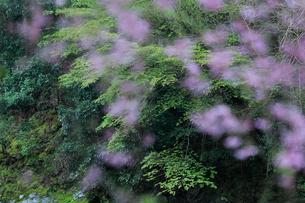 シダレザクラ越しに見る葉桜の写真素材 [FYI01704642]