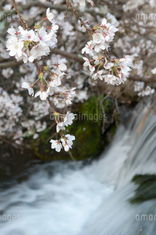 桜の写真素材 [FYI01704688]